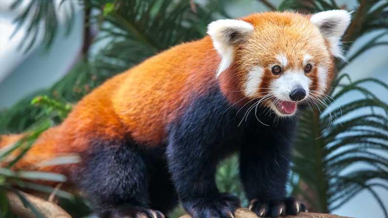 Red Panda Rare
